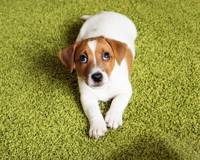 Puppy Jack russell terrier lying on a carpet and looking up