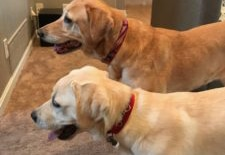 2 yellow labs