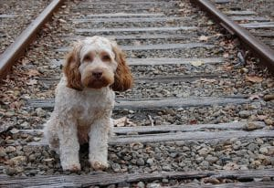puppy on train tracks without leash