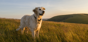 large yellow labrador in tall grass