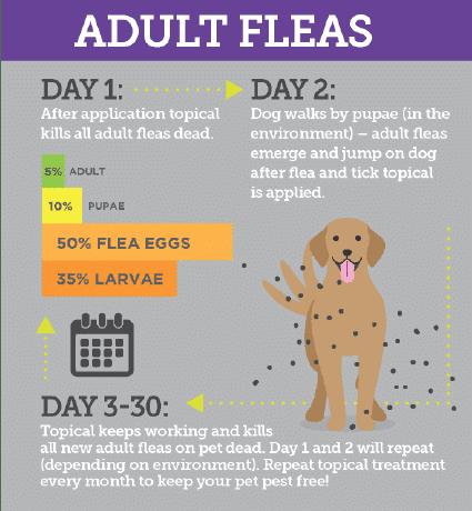 Adult Fleas