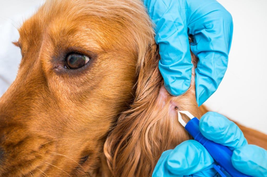 ticks on dog ear