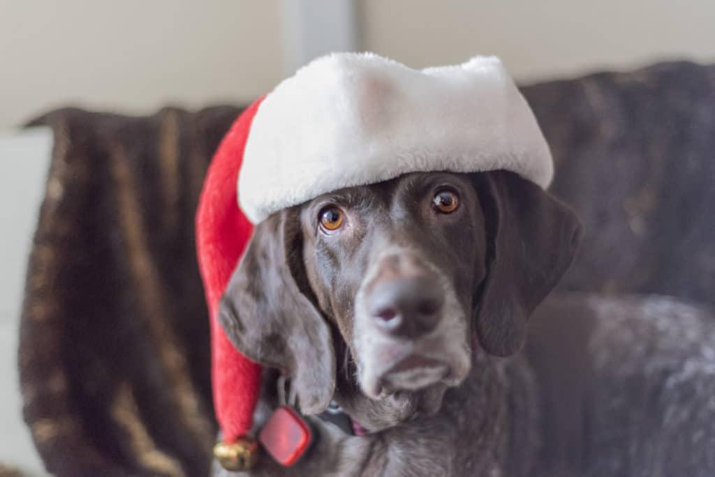 German Shorthair Pointer in Christmas Hat