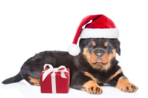 Rottweiler in Christmas hat