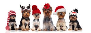 yorkshire terrier in christmas hats