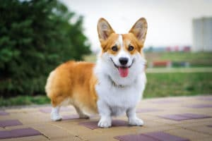Pembroke Welsh Corgi on street