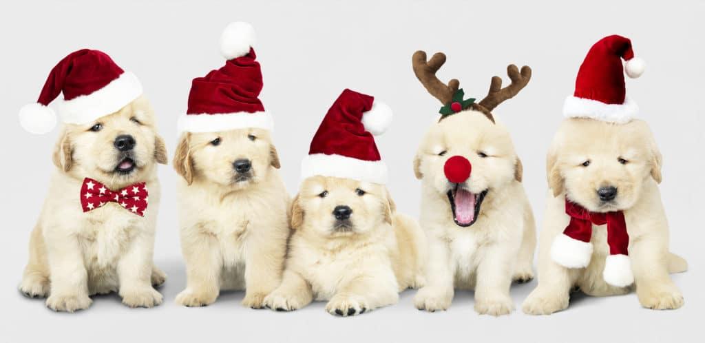 Golden Retriever Puppies in Christmas Hat