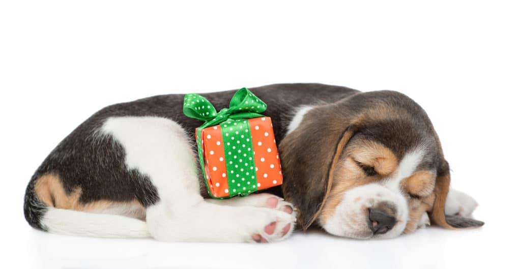 Beagle and Christmas gift