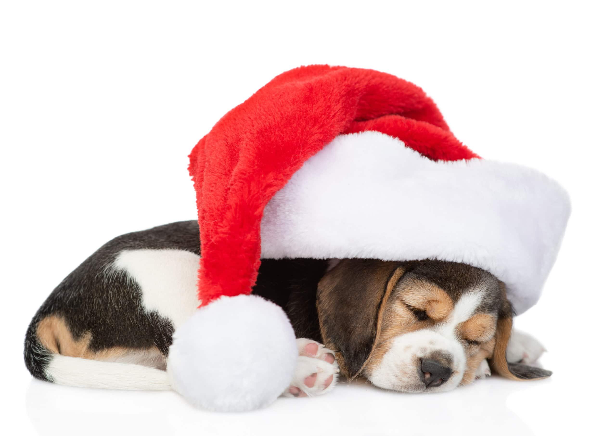 beagle in santa hat