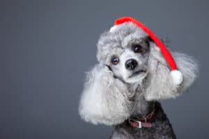 poodle in christmas hat