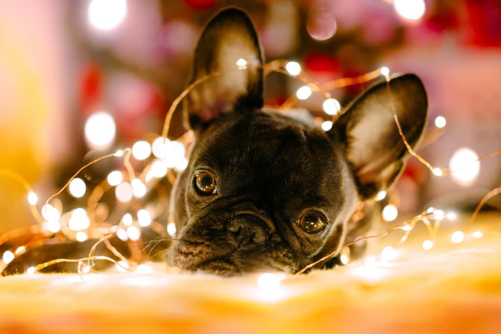 French Bulldog Christmas Lights