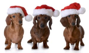 Dachshund in christmas hat