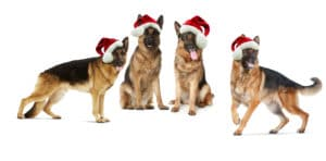 German Shepherd dogs in christmas hats