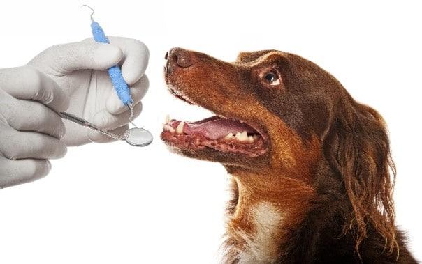 Professional dog dental care